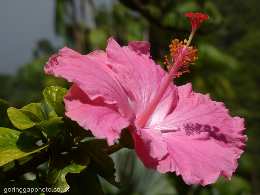 HIBISCUS by Janet Phillips