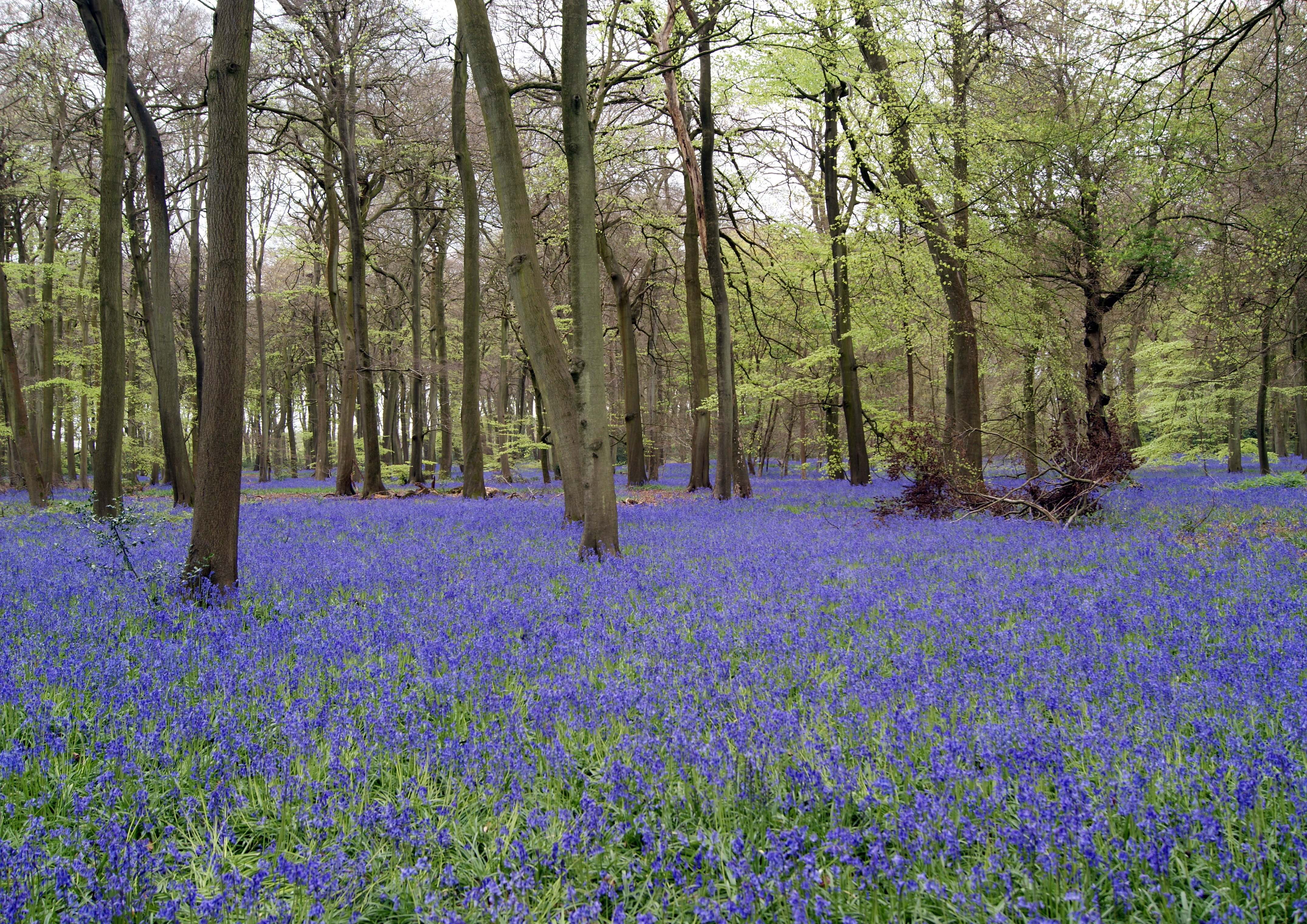 BLUEBELLS IN PARK WOOD by James Ashworth