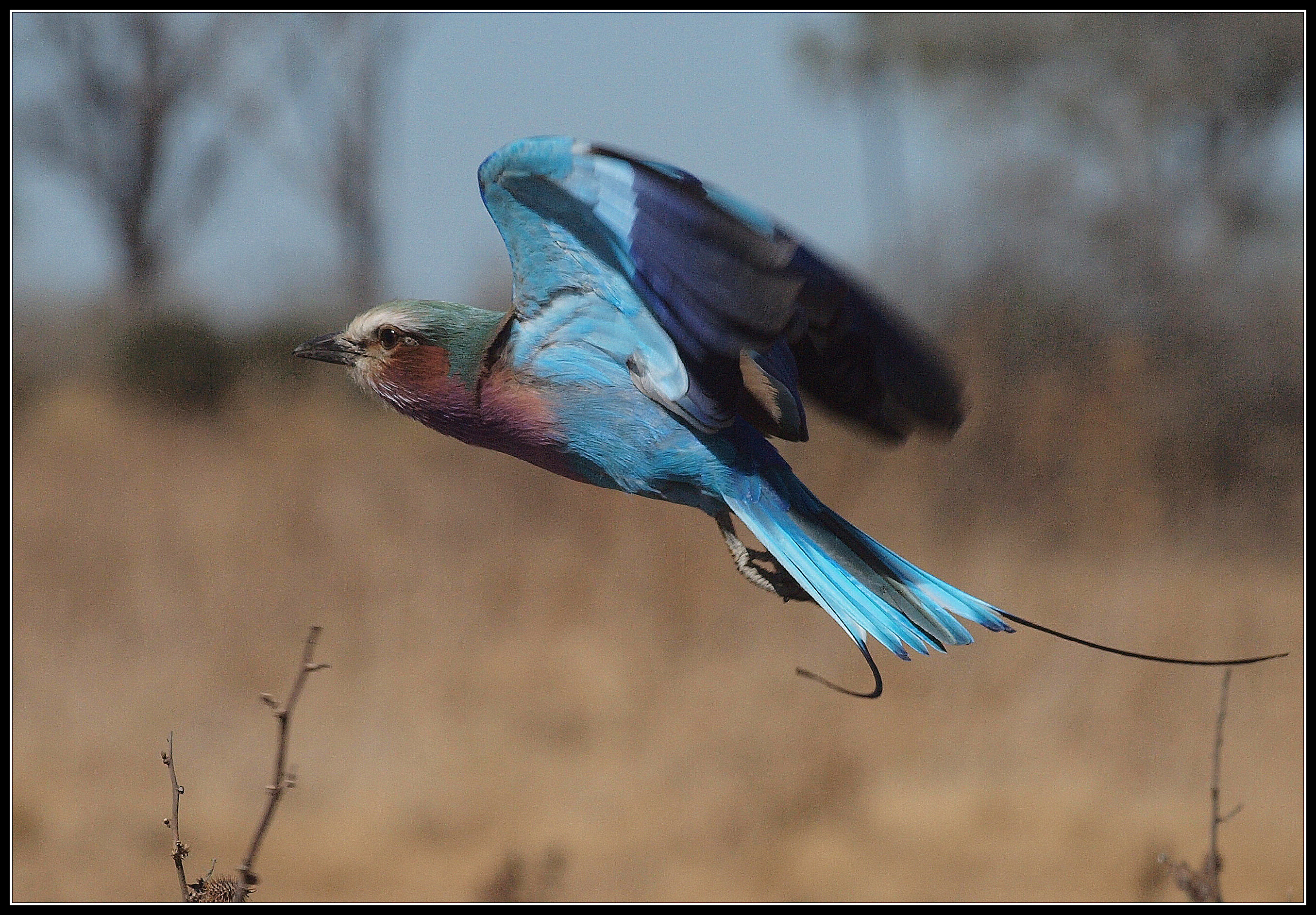 ROLLER IN FLIGHT by Brian Davies