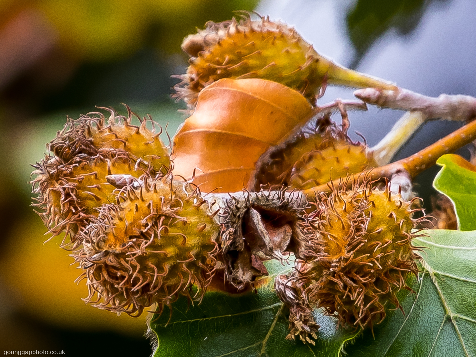 BEECH NUTS by Chris Stevens