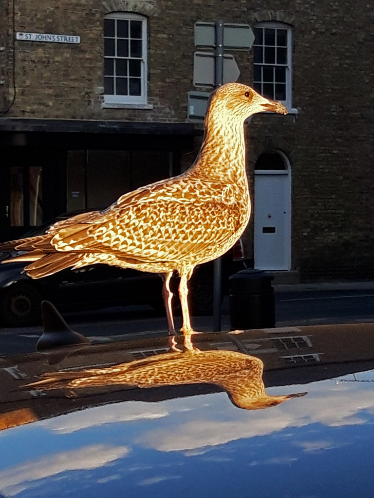 GULL ON A SUNLIT CAR ROOF by Ruth Lysons