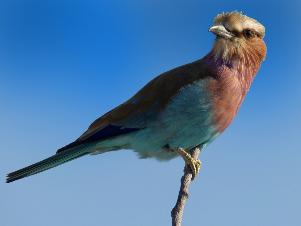 LILAC BREASTED ROLLER by Janet Phillips