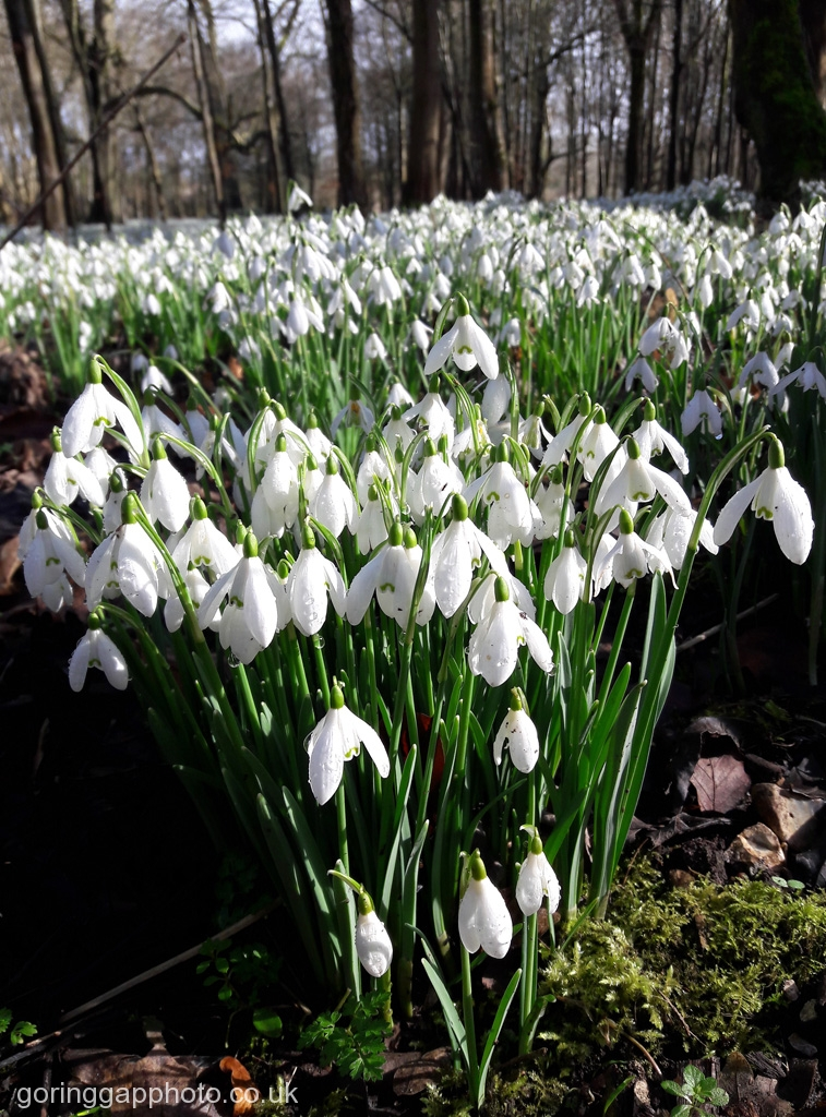 SNOWDROP WOOD by Ruth Lysons