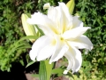 GARDEN LILLY by Ros French