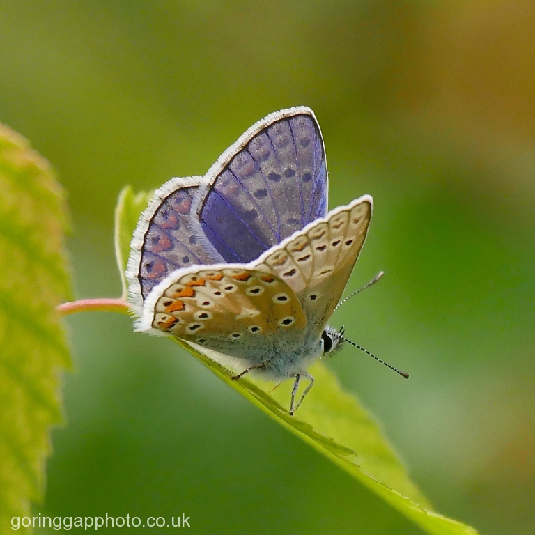COMMON BLUE AT WARBURG RESERVE by Peter Brass