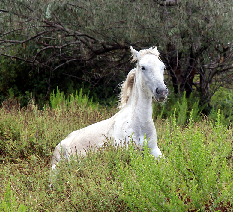 A WHITE HORSE OF THE CAMARGUE by Ros French