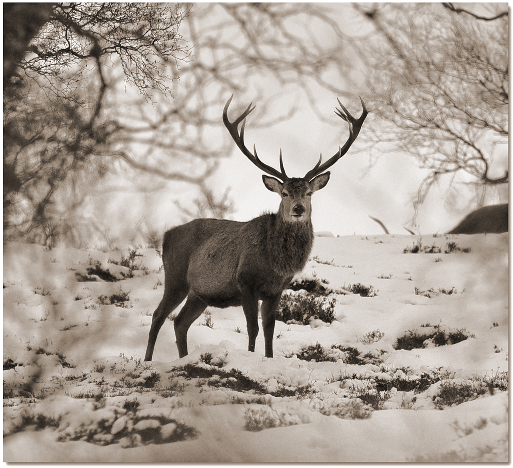 A PERFECT ROYAL STAG by Alex Kellas