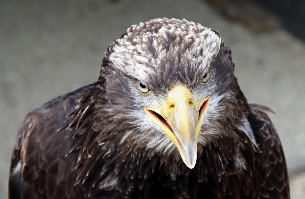 EAGLE by Ros French