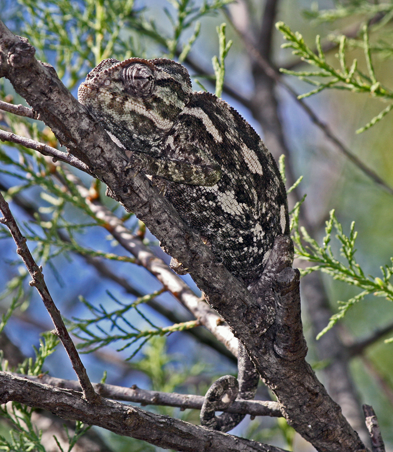 SPOT THE CHAMELEON by Dick Lysons