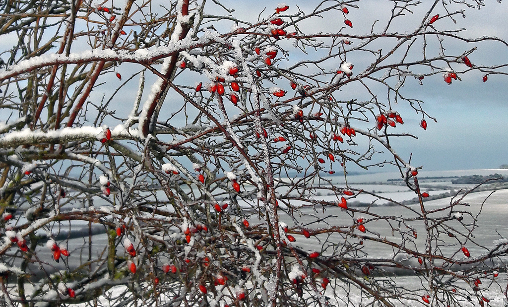 Copy-of-SNOWY-HEDGEROW-ON-THE-DOWNS-by-Ruth-Lysons