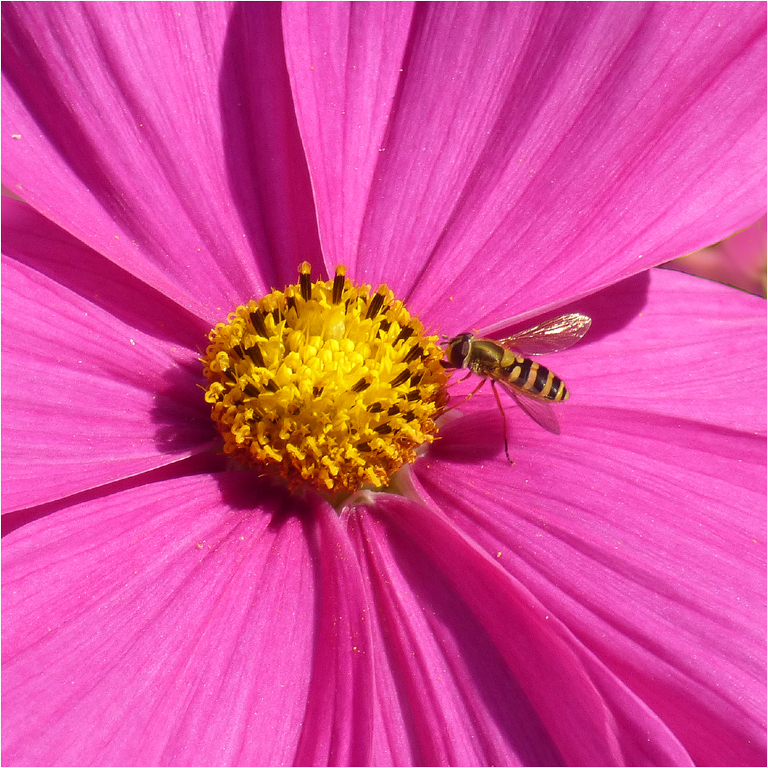 Copy-of-HOVERFLY-IN-THE-PINK-by-Janet-Phillips