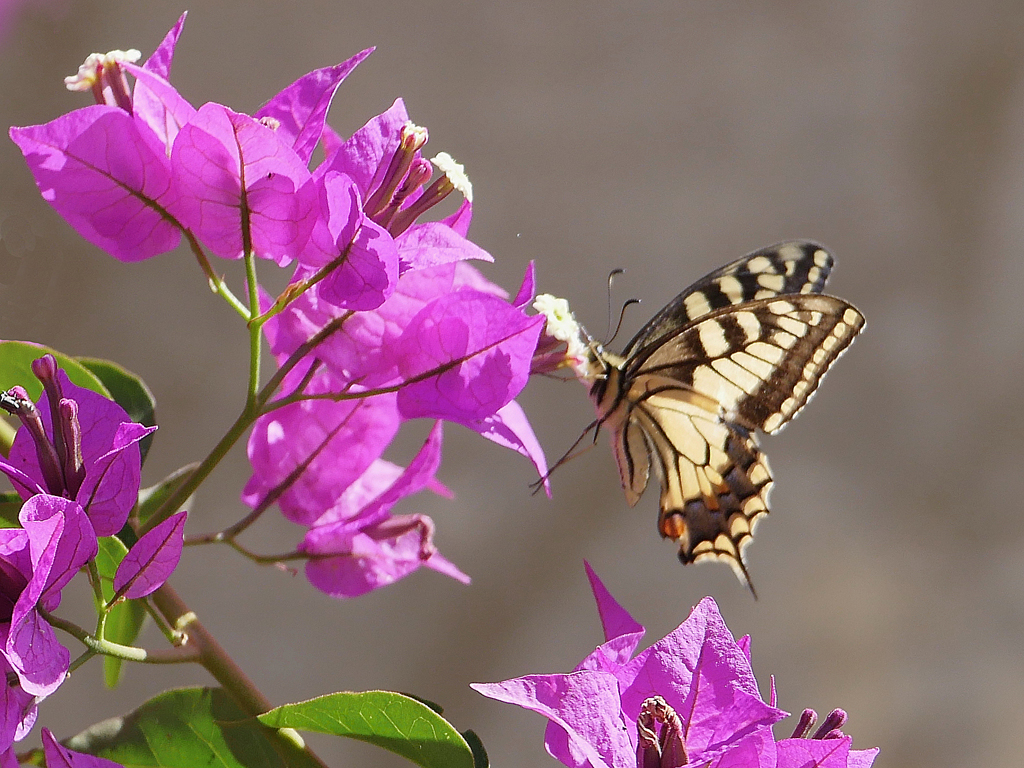 Copy-of-SWALLOWTAIL-AND-BOUGAINVILLEA-by-Peter-Brass